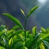 Китайский улунский чай в городе УИ Шань