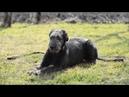 Девочка породы Ирландский волкодав