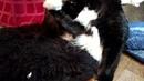 Роды кошки Мейн кун Маркиза