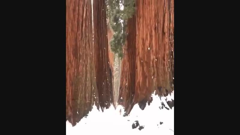 😮🌳❤️ Секвойя самое высокое дерево в мире