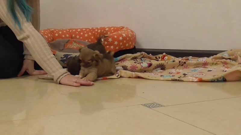 Щенки ЧИХУАХУА Девочки 2 месяца