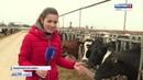 Парное молоко: крымским буренкам выделят субсидии