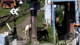 КПП с дикими собаками -ОСТОРОЖНО.Стая в сборе! 5-ть собак.