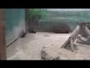 Росомаха. Зоопарк в Нижнем Новгороде - Лимпопо.