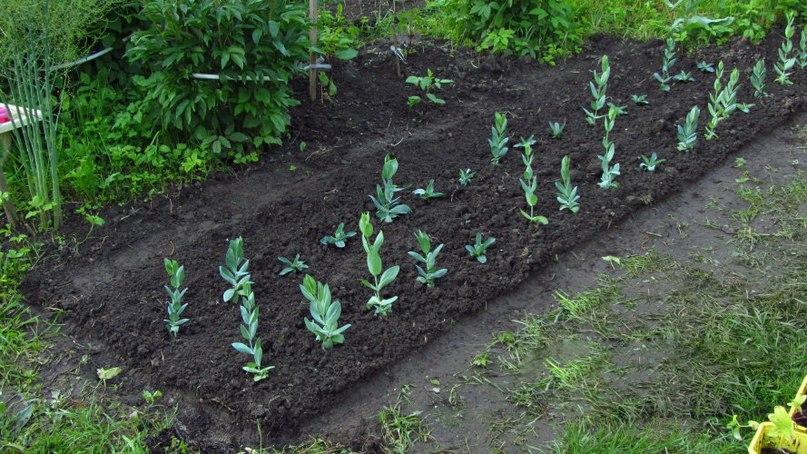Эустома выращивание и уход