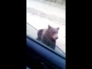 Медведь попрошайничает на трассе возле Северо Енисейска