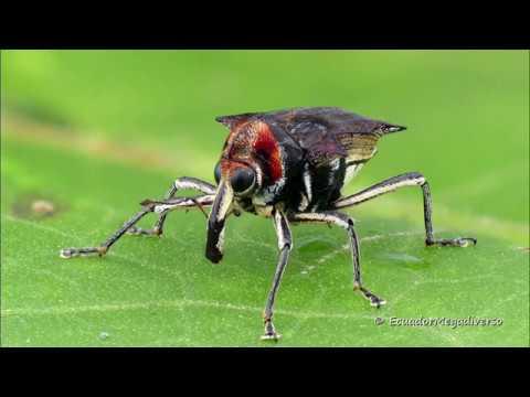 Long legged Weevil from Ecuador mimics a Fly to escape predators