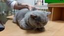 Репортаж из музея Кошки про Британскую кошку Плюшу