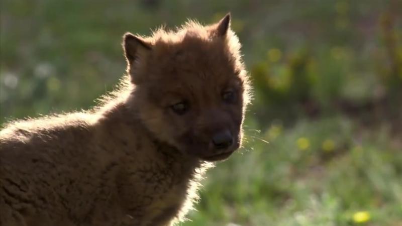 Волчица монгольской степи