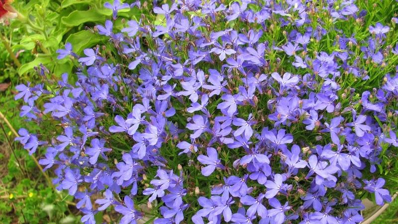 Что посеять в мае Цветы без рассады – сразу в грунт!