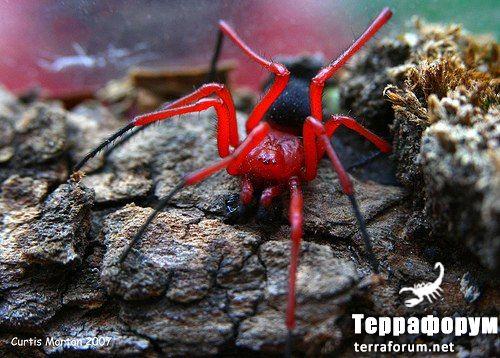Nicodamus peregrinus