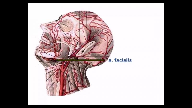 Общая сонная артерия׃ топография, ветви, области кровоснабжения