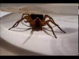 Жина паука