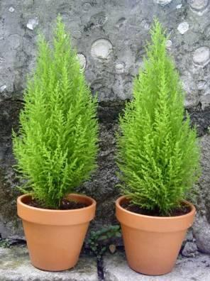 выращивание и уход за хвойными растениями дома обычно в декабре в цветочных магазинах и супермаркетах продаются хвойные растения в контейнерах. их появление напоминает о скором наступлении