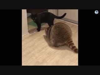 КОТЫ 💎 Смешные коты Русские приколы с котами до слез под музыку – Смешные кошки МатроскинТВ_Segment_0_xvid_Segment_0_xvid