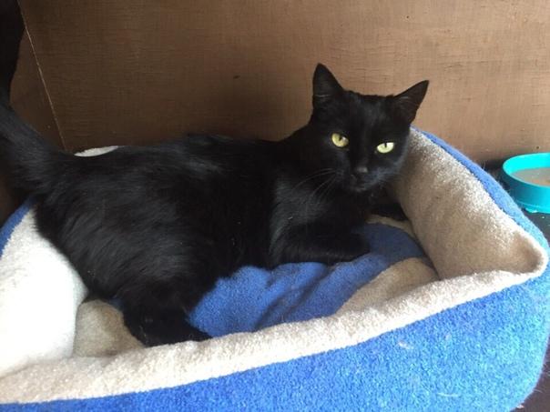 Багира. Чёрная гладкошерстная кошечка с серыми коготками. Оч