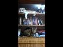 Сасай лениво пытается достать игрушку