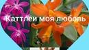 Мои Орхидеи Каттлеи моя любовь