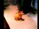 Рогатая сумчатая квакша Horned marsupial frog Gastrotheca Cornuta