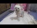 Щенок китайской хохлатой собаки прехорошенькая девочка