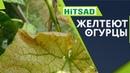 Осторожно Жёлтые листья на Огурцах 🥒 Что Делать с Огурцами 🥒 Как Улучшить урожай ✔️ хитсад медиа