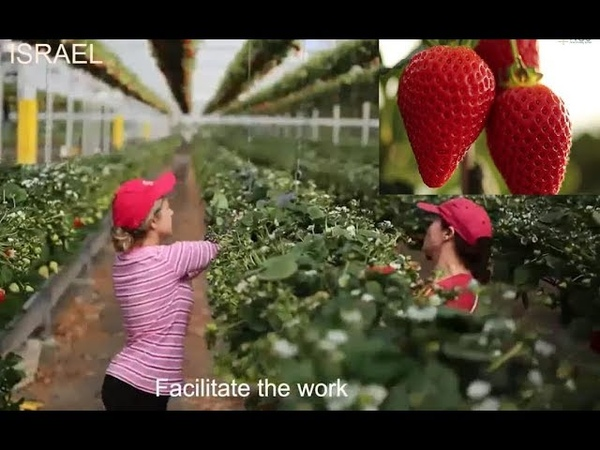 Strawberry in New Growing System - Growing Hydroponic Strawberries