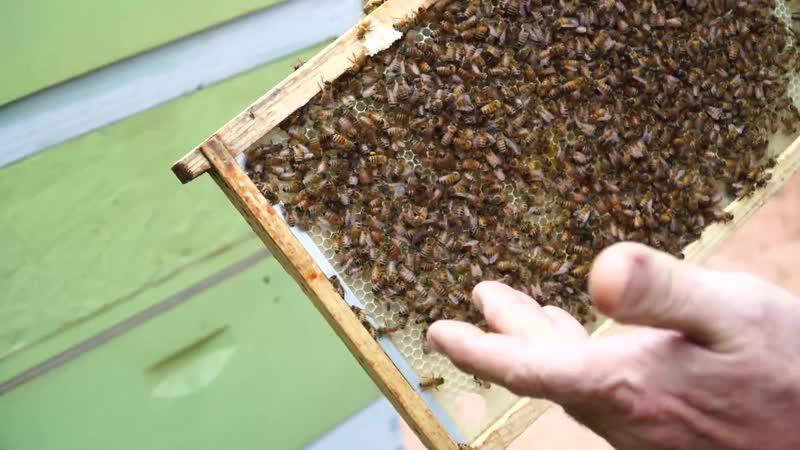 Что нужно делать чтобы пчелы оттянули вощину