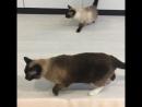 Коты и робот пылесос