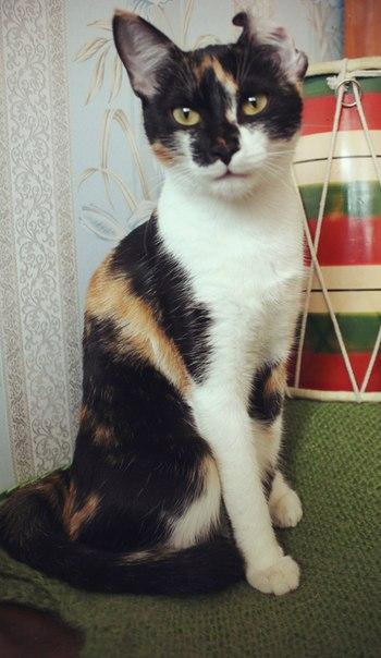 Фотографии трёхцветных кошек