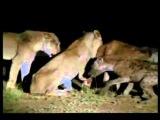 Львы убивают и едят гиен