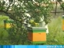 Пчелы и мед, пасека.