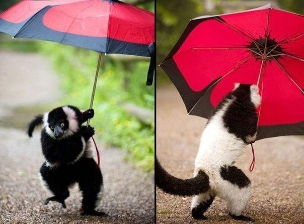 """Этот очаровательный лемур, один из обитателей зоопарка """"Dudley Zoological Gardens"""", стащил зонтик у одного из посетителей, заглянувшего в """"Лемуровый лес"""". Лемур бродил с зонтиком, пока ветер не вырвал его из лапок."""