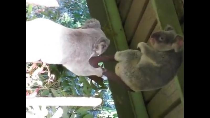 коалы пиздятся