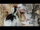 Дятел добывает личинок из дерева, white-backed woodpecker in winter