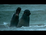 Beachmaster Elephant Seal Fights off Rival Male BBC Earth