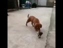 супер прикол )утка укусила пса за письку