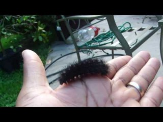 Giant Leopard Moth caterpillar (Hypercompe scribonia)