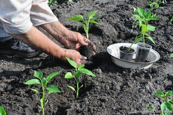 Чистые и нежные руки  после огорода