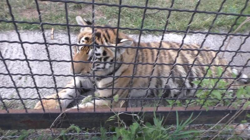 Мы с тобой одной крови (пытаюсь подружиться с тигрятами мамы-героини Фриды).
