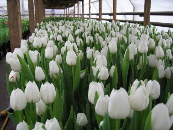 Форум гардения тюльпаны часть 3