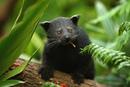 Бинтуронги - немного неуклюжие и коротконогие животные с жесткой темной шерстью.