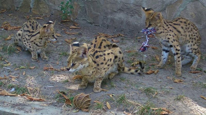 Сервалы получили новые игрушки Leptailurus serval Beo Zoo Vrt Belgrade Zoo Zoran B Rajic
