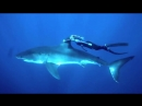 Девушка прокатилась на смертельно опасной белой акуле