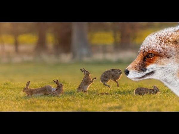 МЕНЬШЕ ЛИС БОЛЬШЕ ЗАЙЦЕВ Отстрел лисицы