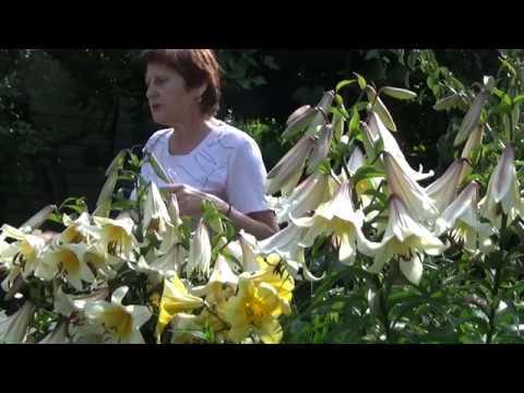 Лилии ТРУБЧАТЫЕ роскошь цвета и аромата