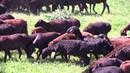 Знаменитые таджикские овцы Гиссаркой породы отара Ходжи Мирзокарима начало перегона в Лохуре