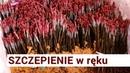 Прививки на польском питомнике. Szkółki: szczepienie w ręku [film] - Nowakowscy, Żdżary