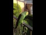 Papagaio mais manhoso do mundo kkkk (Loro chorão da Celina )(Nina)