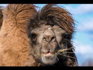 Страусиная ферма: я и верблюды