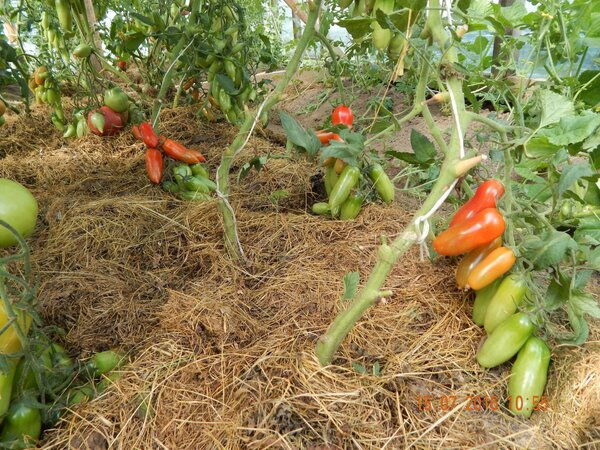 Фляшен томатен - помидоры, от которых невозможно отказаться. У каждого любителя томатов найдётся сорт, от выращивания которого он никогда не откажется. Для меня таким является Фляшен томатен. В